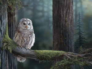Barred Owl by Laura Levitsky