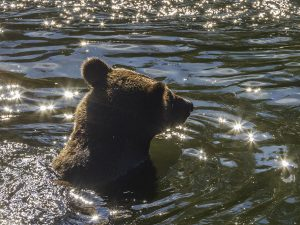 Grizzly Cub by Vickie Legere