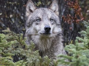 Wolf's Eyes by Vickie Legere