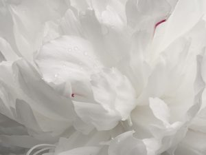 Peony by Vickie Legere